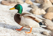 The Male Mallard Duck On The G...