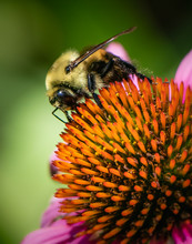 Closeup Of Bumblebee On A Cone...