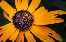 A Tiger-striped Hoverfly On A Blackeyed Susan