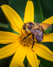 Close Up Of A Busy Bee Working On The Center Of A Bright Yellow Flower