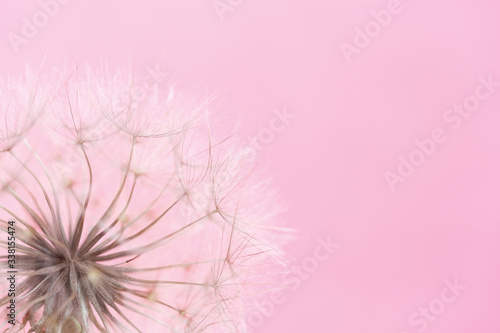 Fototapeta Dandelion on a pink background with copy space