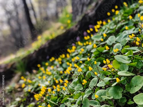 A yellow, juicy flower of goose cinquefoil ((Potentilla anserina), (Potentilla g Fototapet