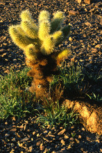 Teddy Bear Cholla Cactus, Ariz...