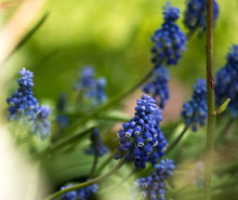 Muscari Flower Bug Blue Insect Bluish Cyan Green Grass Summer Sun Bulb Spring