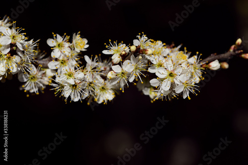 Fototapeta A branch with small white flowers protrudes laterally into the picture against a