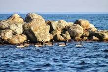 Canada Geese Swimming By Rocks In Sea