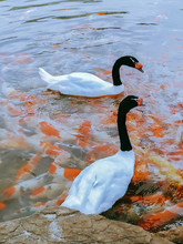 High Angle View Of Geese And Koi Carps In Lake