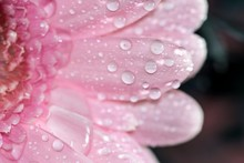 Close-up Of Raindrops On Pink Water Drops