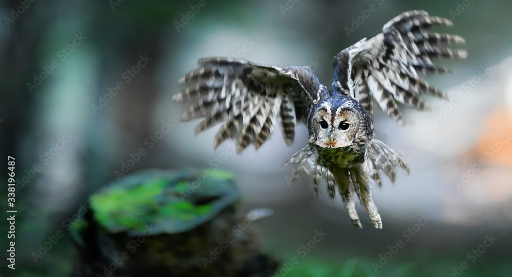 Fototapeta Tawny owl or brown owl id deep forest (Strix aluco). Fly action photo. Defocus background.
