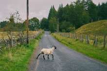 Sheep Crossing A Country Road In Scotland