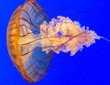 canvas print picture - Close-ups of jellyfish