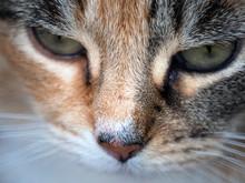 Close Up Calico Cat