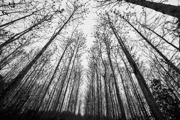 black and white forest perspective trees background