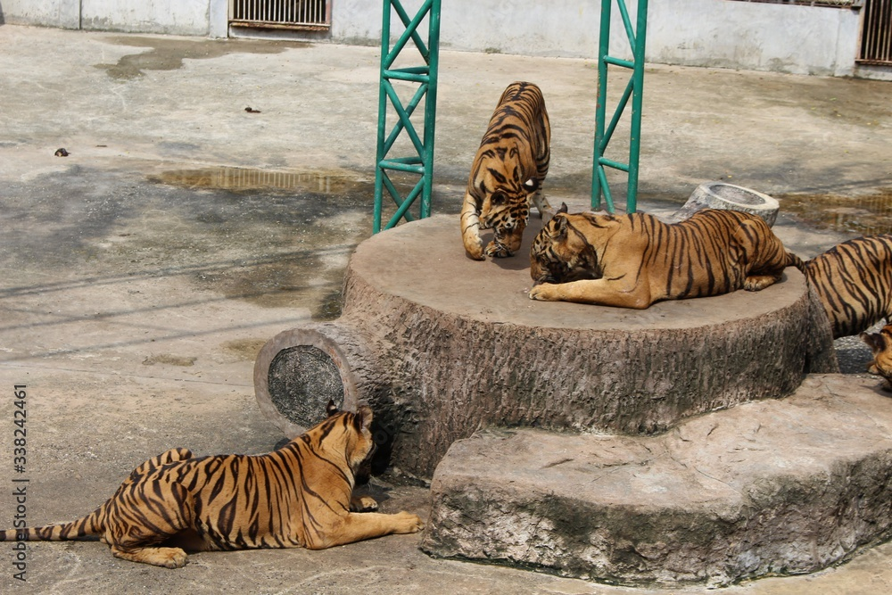 Fototapeta tigers at the zoo thailand