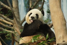 Close-up Of Panda On Tree