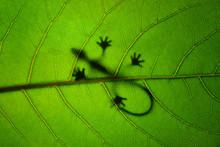 Shadow Of Gecko On Leaf