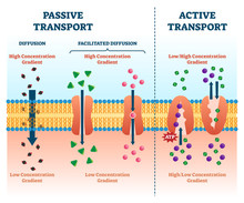 Active Passive Transport Vecto...