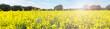Leinwandbild Motiv Rapsfeld - Panorama
