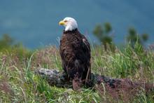 Bald Eagle (Haliaeetus Leucocephalus) On A Log At Hallo Bay, Katmai NP, Alaska