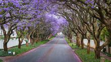 Tall Jacaranda Trees Lining Th...