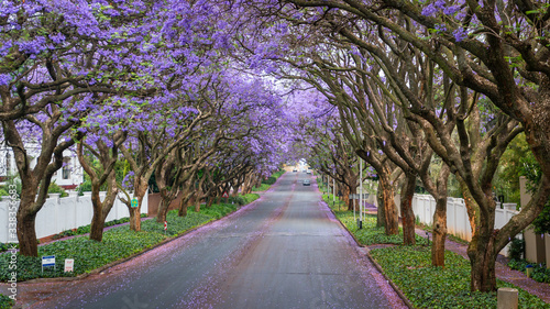 Tall Jacaranda trees lining the street of a Johannesburg suburb in the afternoon Fototapet