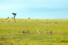 Three Cheetahs Stalking Through High Grasslands Of Masai Mara Near Little Governor's Camp In Kenya, Africa