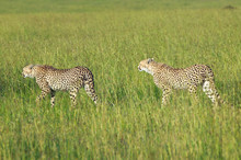 Two Cheetahs Stalking Through High Grasslands Of Masai Mara Near Little Governor's Camp In Kenya, Africa