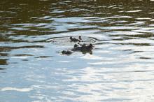 Hippopotamus In Pool Of Water In Masai Mara Near Little Governor's Camp In Kenya, Africa
