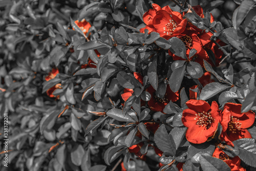Photo flowering shrub with red flowers and ashy leaves