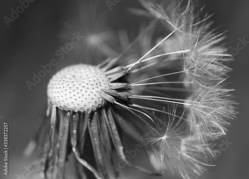 Fototapety, obrazy: Close-up Of Dandelion Flower