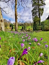 Crocuses Out In Bloom. Avenham...