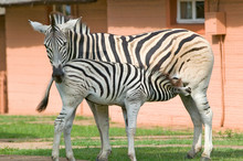 Mother And Baby Zebra Standing...