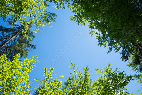 Fotografía tree crowns in springlike green, view from bottom up.