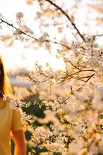Plum Blossom In Spring At Sunset