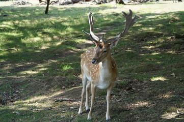Naklejka na ściany i meble Wild Deer