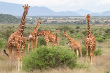 Giraffes In Samburu