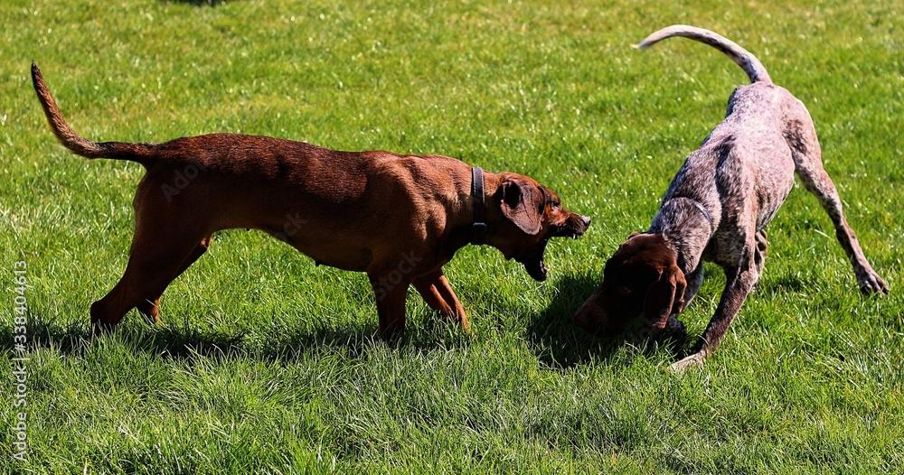 Fototapeta beagle dog running