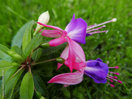 Photo colorati fiori di fucsia fioriti sull'erba del giardino in primavera