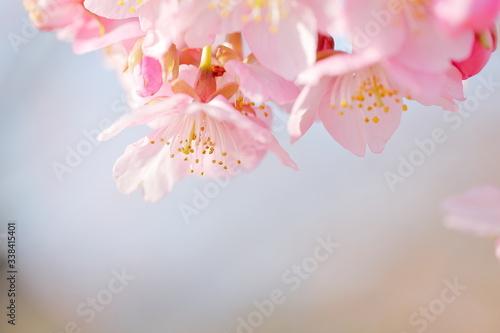日本の河津桜