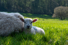 Newborn Lambs Laying On Grass ...