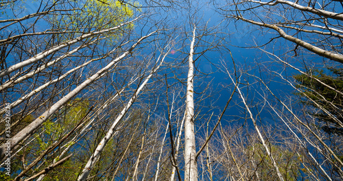 Białe brzozy na tle niebieskiego nieba - 338426824