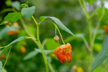 Orange Jewelweed In Bloom, Imp...