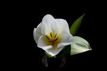 White Developing Tulip Flower ...