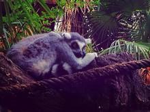 Lemur Relaxing On Rocks In Forest