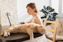 The Cat Is Lying On The Table At The Workplace With It Equipment At Home. A Woman In Home Clothes Works On A Computer In Front Of A Monitor In A Home Atmosphere. Flexible Working Hours And Remote Work