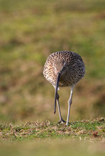 Front Shot Of A Curlew, Numenius Arquata Walking Towards The Camera Looking For Food On A Field. Taken At Stanpit Marsh UK