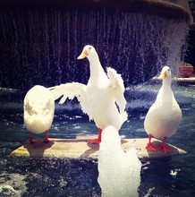 White Goose Birds Rock In Water Fountain