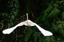 Front View Of Great Egret Flying