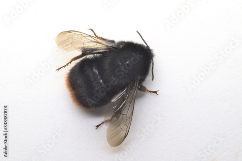 Canvas-taulu bumblebee isolated on a white background