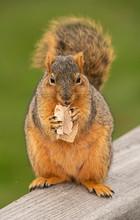 Fox Squirrel Eats A Snack In T...
